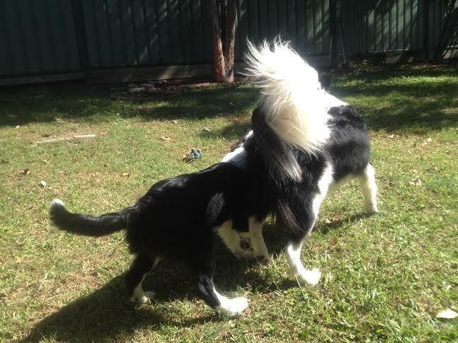 PAMMY/PADDY.........GOD ONLY KNOWS WHAT IS GOING ON HERE! PADDY HAS THE BEST TAIL! WHY WOULD ANYONE CUT OFF A DOG'S TAIL? dogsbigdayout.com.au