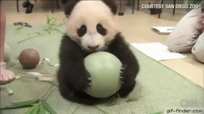 Baby panda loves ball | Gif Finder – Find and Share funny animated gifs