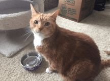 """A man went into a shop to buy food and came out with a 25lb rescue cat! It was definitely love at first sight when they opened the cage door and Pumpkin the cat began to squeak at him. """"When I walked into the PetSmart to get food, I saw this dude, Pumpkin, in the SPCA adoption center. His"""