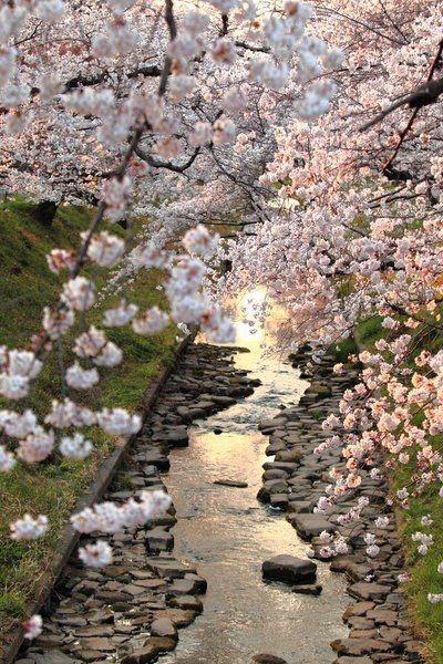 Beautiful sakura on a river. Cherry blossom, pink, flower, spring, japan