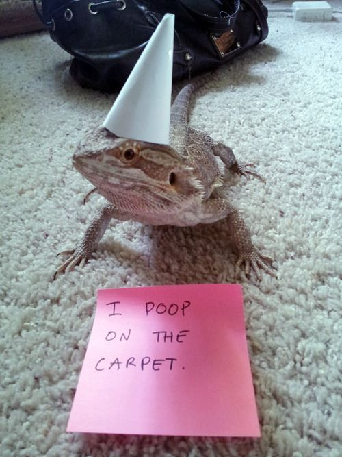 Funny Pet Shaming Bearded Dragon Funny Stuff Pinterest