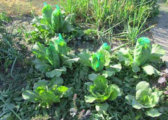 Поделюсь своим опытом выращивания пекинской капусты. Какая она полезная, нежная ивкусная, многие огородники уже знают.Так вот, сажаем её всередине лета наосвободившиеся грядки, например, после …