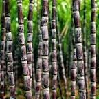 11 - CAÑA DE AZÚCAR 4 - La caña de azúcar no soporta temperaturas inferiores a 0 ºC, aunque alguna vez puede llegar a soportar hasta -1 ºC, dependiendo de la duración de la helada. Para crecer exige un mínimo de temperaturas de 14 a 16 ºC. La temperatura óptima de crecimiento parece situarse en torno a los 30 ºC., con humedad relativa alta y buen aporte de agua.  Se adapta a casi todos los tipos de suelos, vegetando mejor y dando más azúcar en los ligeros, si el agua y el abonado es el adecuado.