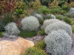 Leucophyta brownii in foreground. Dwarf shrub to 1 m. Withstands wind and salt spray. Full sun.