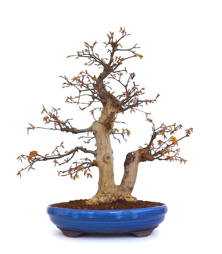 222 best images about bonsai on pinterest bonsai trees 45 and culture. Black Bedroom Furniture Sets. Home Design Ideas