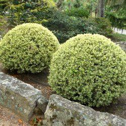 Utilisation du Buis panaché Elegantissima LeBuis panaché trouve sa place dans tous les jardins : rustique, persistant et coloré toute l'année avec un petit développement. On plante le Buis panaché enbordures ou petite haie étroite, on le taille en boule ou on le laisse libre. On peut également utiliser le Buis panaché en association avec du lierre pour faire de belles jardinières 4 saisons. Le Buis panaché est un arbuste très ramifié à port érigé et à développement lent.