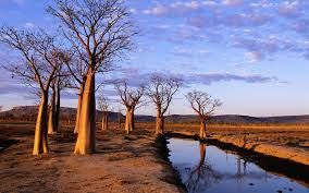 Boab trees | The Kimberly, Western Australia.