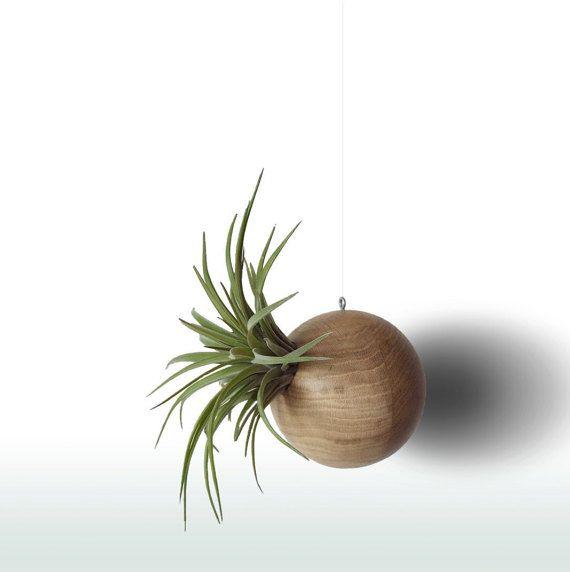 Wenn Sie, diese Dekoration sehen würden werden Sie positiv überrascht - die schöne Tillandsien auf einen hängenden hölzernen Globe zu sehen!  Der Globus ist aus Eichenholz, mit mattem Lack lackiert, geschützt von Wasser, so sie drinnen platzieren und draußen. Hölzerne Kugel kann natürliche Knoten und es ist 10cm im Durchmesser.  --------------------------------------------------------------  Was sind Tillandsien - Luft Pflanzen?  Tillandsien sind Teil der Bromelie-Familie, der Gattungsname…