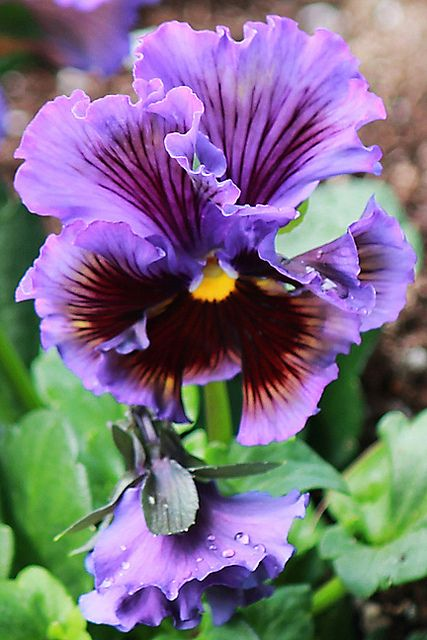 268 best images about pansy faces on pinterest