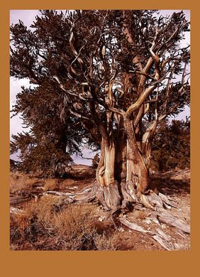 Once thought to be the oldest living tree in the world, Methuselah was germinated before the Egyptian Pyramids were built