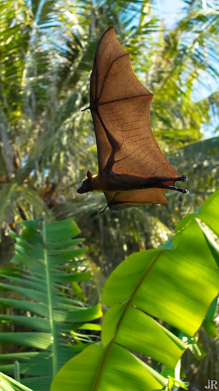 flying fox / fruit bat - largest bats in the world.  Nearly 5 foot wing span and can weigh up to 3.5 pounds (though most are less than 1.5 lbs).