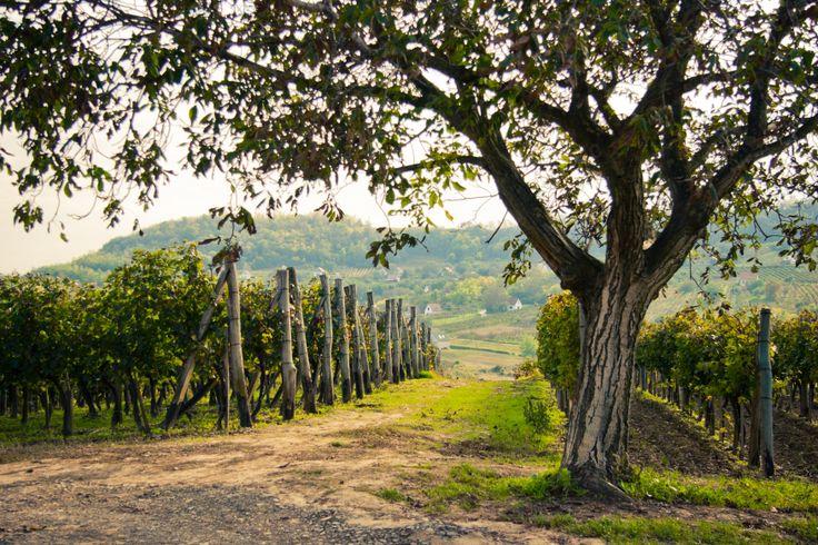 Vineyards - Szekszárd Wine Region