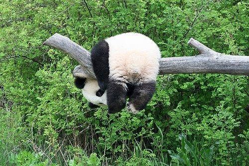 パンダですー!すごい体勢…。