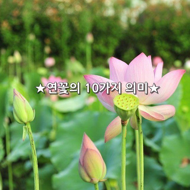 ★연꽃의 10가지 의미★    연꽃의 의미 고대 인도에서   가장 귀하게 여긴 꽃이 연꽃이라고 합니다.       1. 이제염오    세상을 아름답게 가꾸는 사람이 되라는 의미    2. 불여악구    주변의 어떠한 나쁜 것을 멀리하고,   물들지 않는 사람이 되라는 의미    3. 계향충만    향기나는 사람이 되라는 의미    4. 본체청정   깨끗한 몸과 마음을 간직하라는 의미    5. 면상희이     인자한 사람이 되라는 의미    6. 유연불삽  남의 입장을 이해하여 융통성 있게   유연하게 살아가라는 의미    7. 견자개길  좋은 일, 길한 일을 하도록 인도하라는 의미    8. 개부구족   좋은 열매를 맺으라는 의미    9. 성숙청정  몸과 마음이 맑은 사람이 되라  10. 생기유상   누가 보아도 존경스러운 사람이 되라는 의미 ★ #좋은글 좋은글귀 어플 구글 플레이 스토어에서 다운로드 받으세요