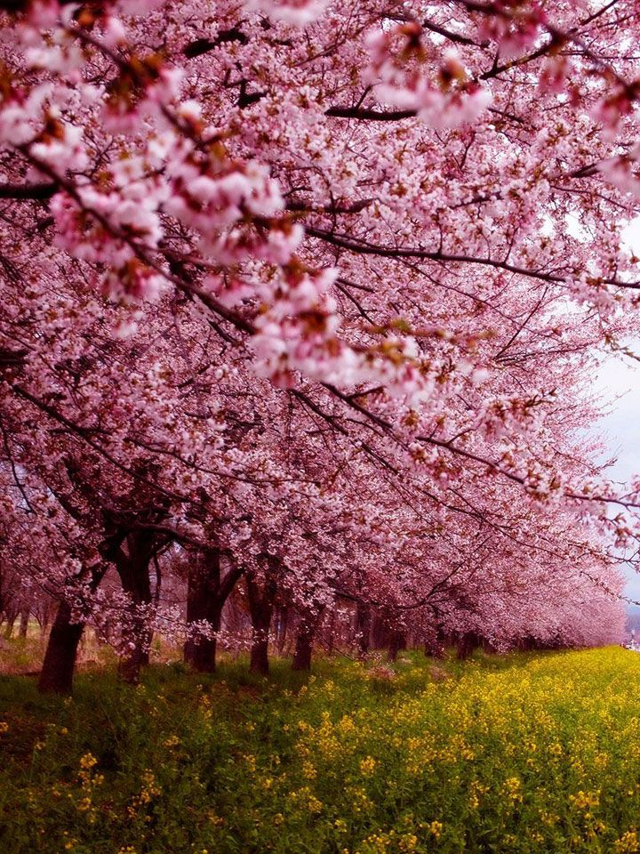 Profitez d'un peu de sérénité en contemplant ces cerisiers en fleur marquant le renouveau du printemps au Japon