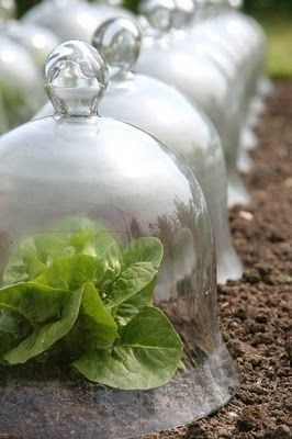 cloches the history of them and how it can help extended your growing season. I want some!