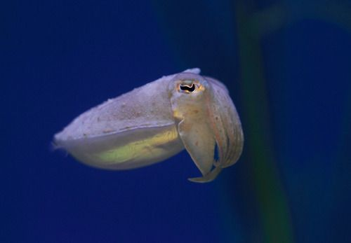 Our husbandry staff has cultured several generations of pharaoh cuttlefish behind the scenes,