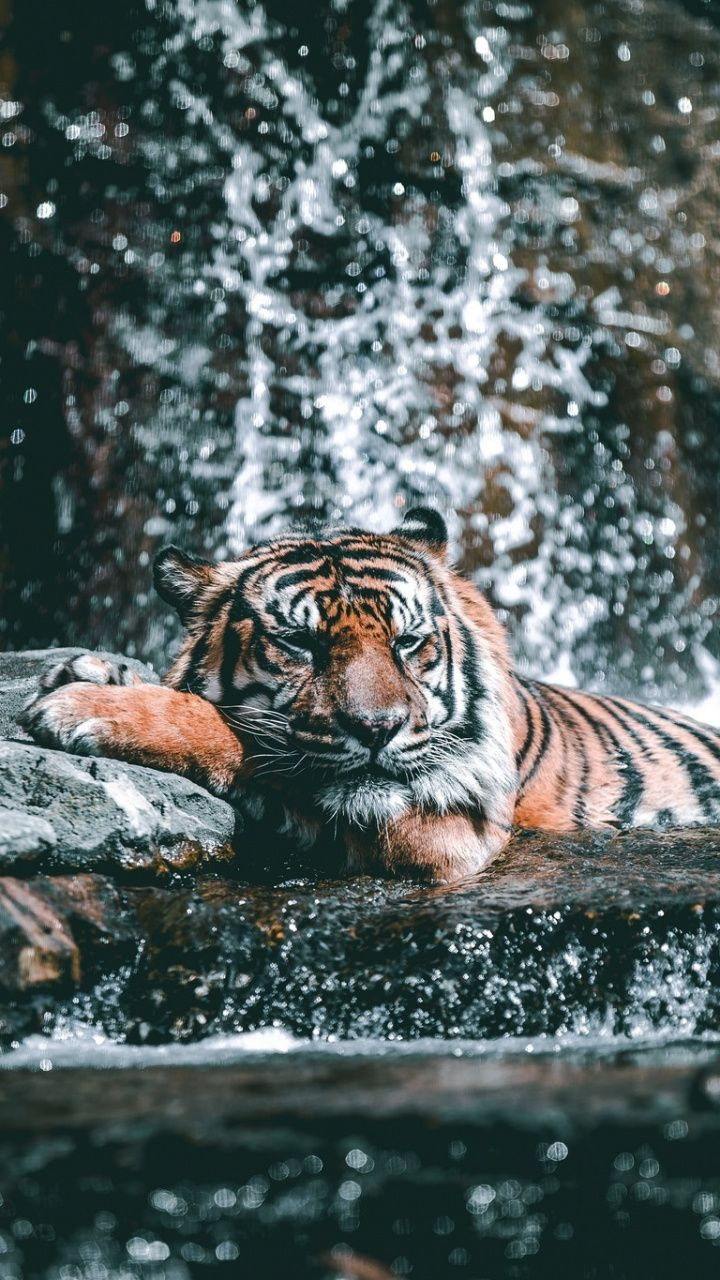 Water Current Zoo Tiger Animal Wild 720x1280 Wallpaper Animals Beautiful Majestic Animals Wild Animal Wallpaper