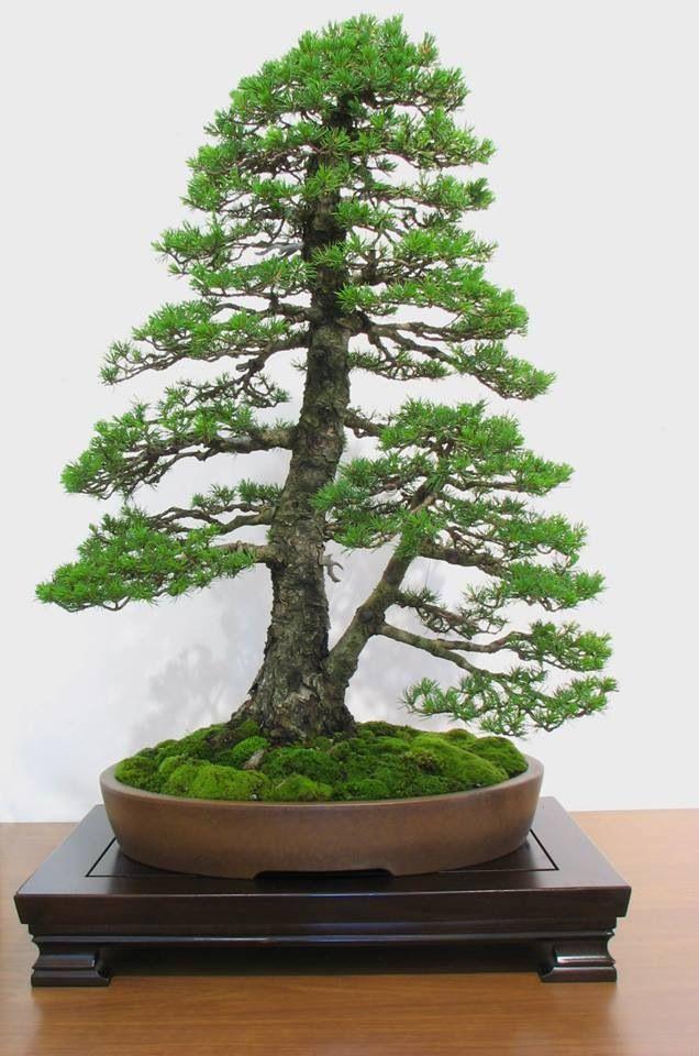 15 best jacaranda mimosifolia bonsai tree images on. Black Bedroom Furniture Sets. Home Design Ideas