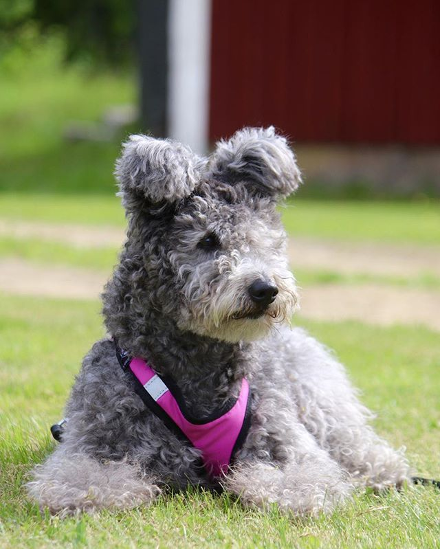 Rejoice, everyone. There's officially a new type of dog in the world to make everything wonderful again. The American Kennel Club announced this week that they're officially recognising the 190th breed of dog: the Pumi. Look at its ears. Look how fluffy they are. They're very cute.