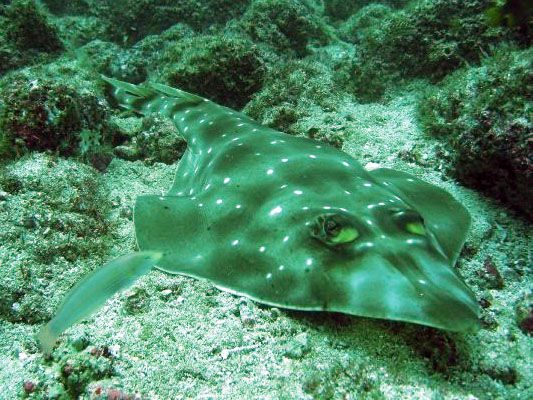 Shovelnose ray, Costa Rica scuba diving. Buceo.