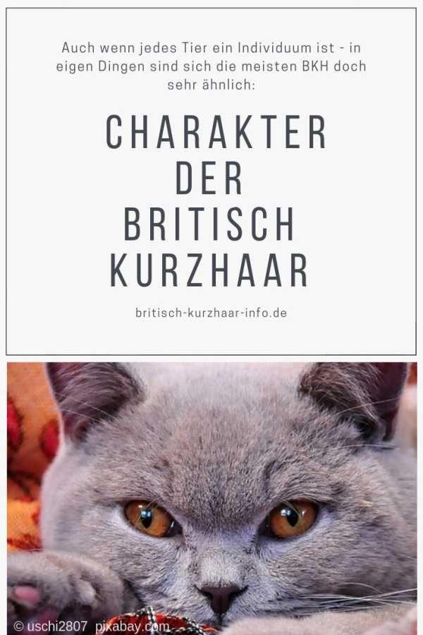 Bkh Britischkurzhaar Britischkurzhaarkatze Britisch Kurzhaar Bkh Katzen Kurzhaar Katzen