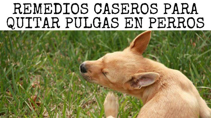 Si tu #perro tiene #pulgas y no consigues eliminarlas, aquí te indicamos varios remedios caseros. Seguramente ya has acudido al veterinario y los productos habituales para quitar pulgas en perros no han sido del todo efectivos. Por si fuera poco, dichos productos al contener mucha química, podrían volverse dañinos para tu can si los utilizas muchas veces. Y más aún si todavía son #cachorros. ¡No te preocupes! Hay solución.
