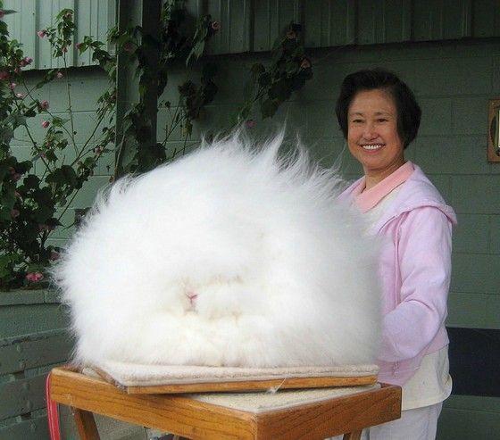 Гигантский ангорский кролик