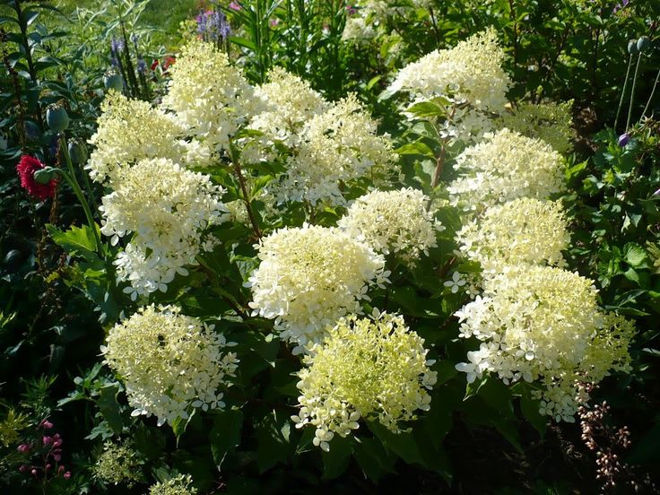 17 best images about hydrangea hortensja on pinterest trees and shrubs red hydrangea and. Black Bedroom Furniture Sets. Home Design Ideas