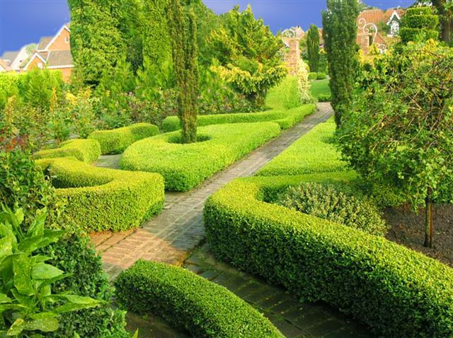 Buxus_sempervirens - Google Search
