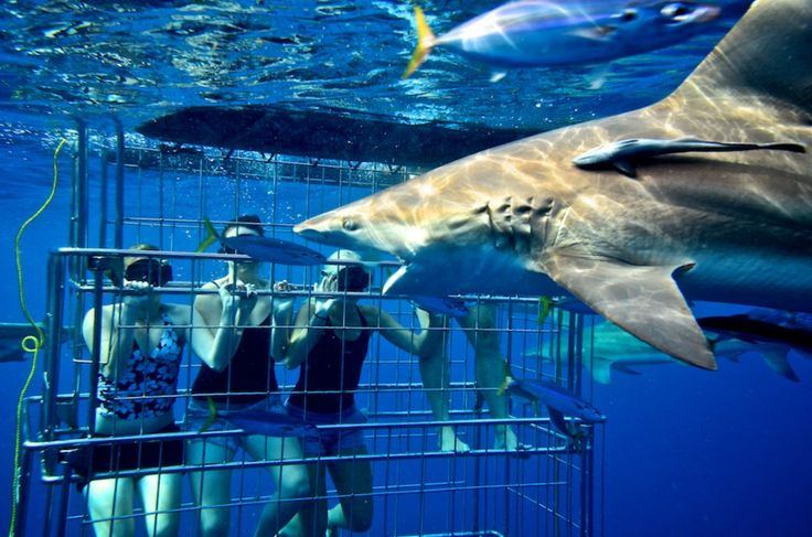 Shark Cage Diving in South Africa. #travel #southafrica