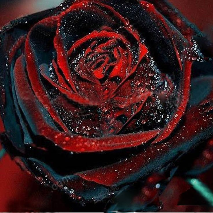 Egrow 100Pcs Black Rose Seeds Flower With Red Edge Rare Rose Garden Bonsai Seeds - Banggood Mobile