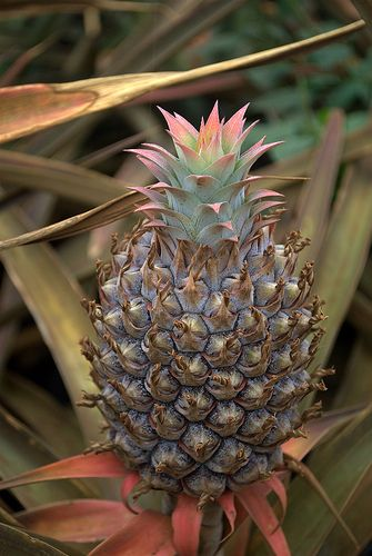 Maui Pineapple Tours: Visit a working pineapple plantation | There's No Place Like Oz