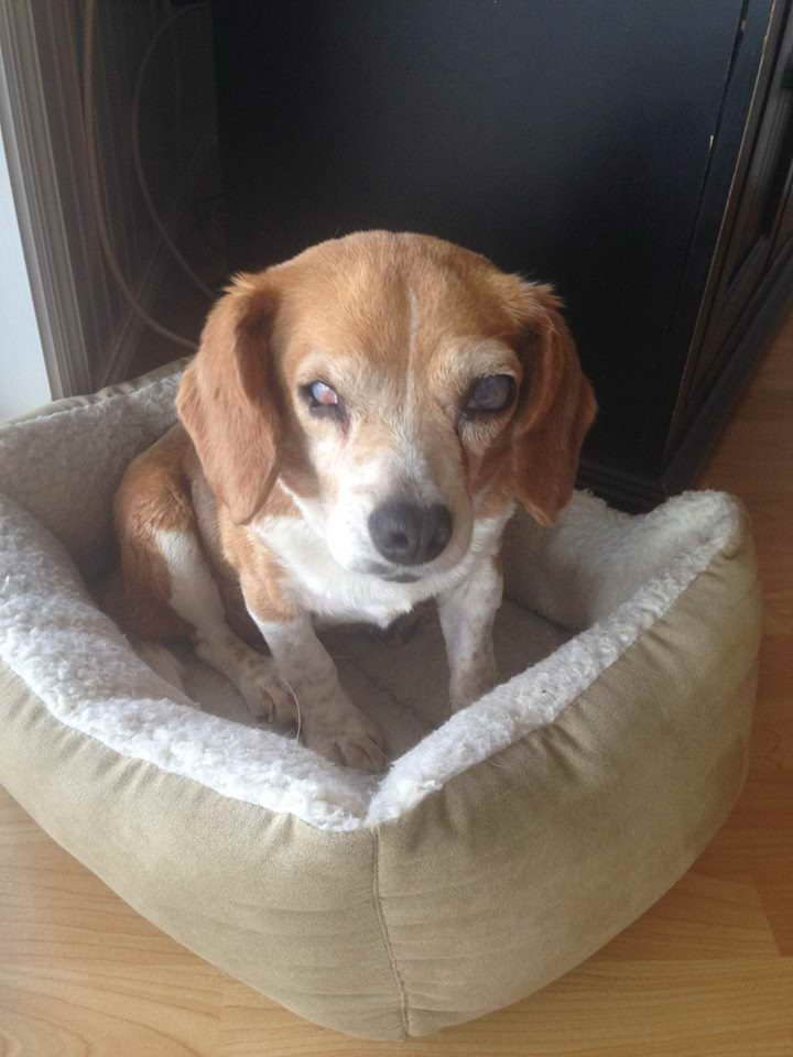 Beagle Rescue Maryland
