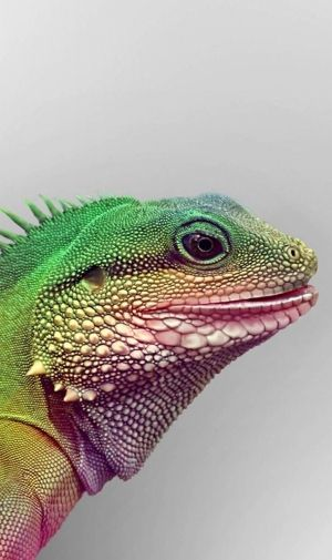 イグアナ IguanaのiPhone壁紙   壁紙キングダム スマホ版