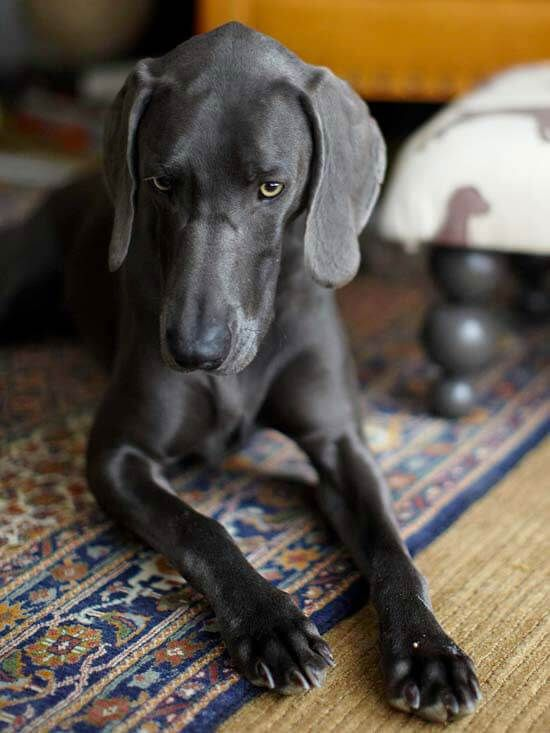 """Weimaraner: Affectionately nicknamed the """"gray ghost"""" because of its spectacular silvery-gray coat, the Weimaraner is an all-around family and hunting dog that was catapulted into the world of arts and culture by the photographer William Wegman."""