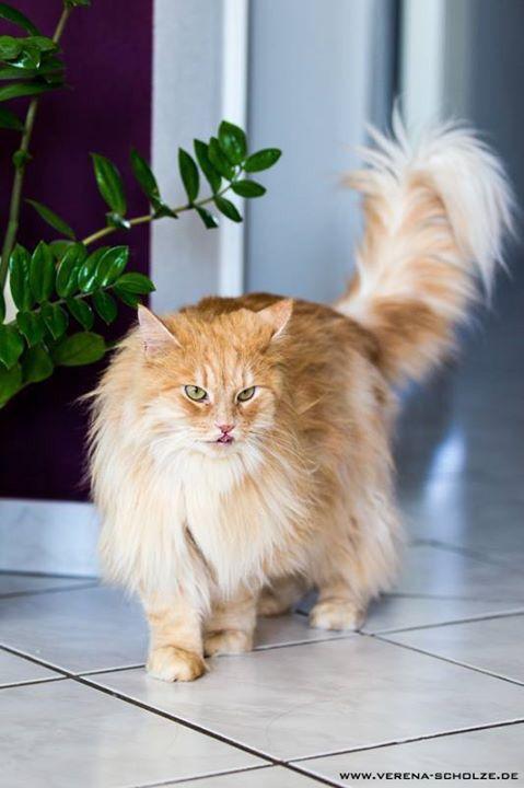 Sibirische Katze - roter Kater  siberian cat