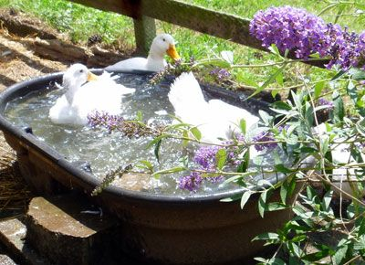 Raising ducks or chickens? Ten reasons to choose ducks. | HGTV Gardens