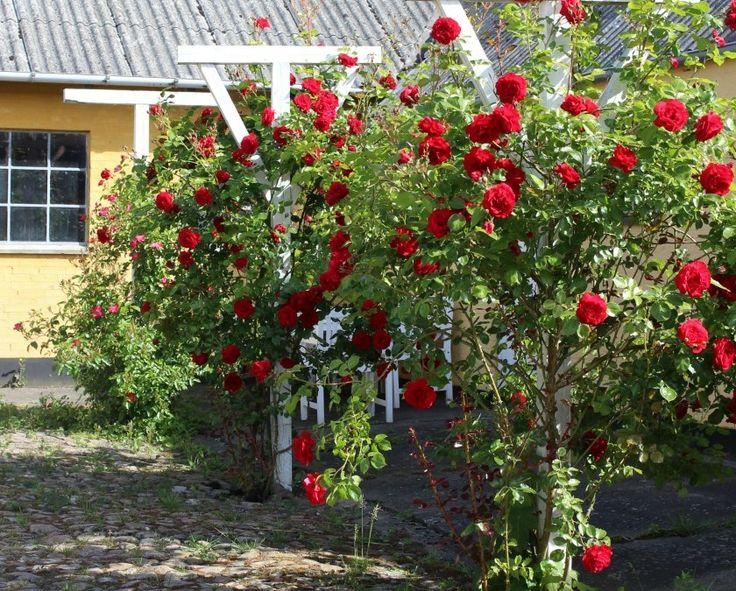 Rose Heidelberg