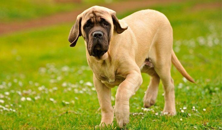 Mastín inglés, top de perros más grandes del mundo