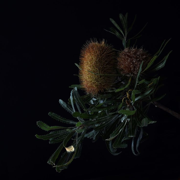 Banksia by Don Urban Photography.