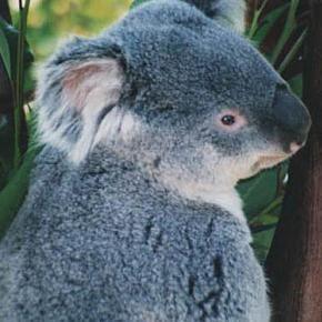 Koala Amigurumi Nose : 17 Best images about Koalas forever!