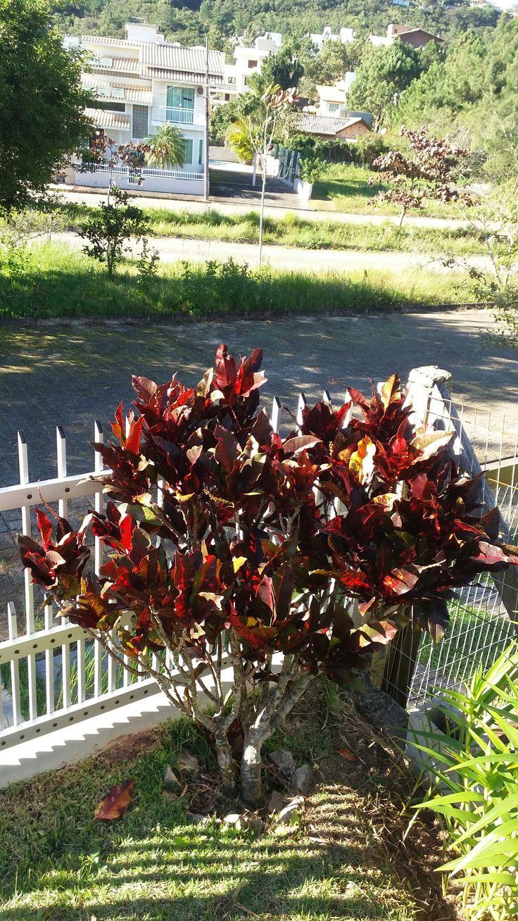 Variedade de cróton...enfeitando meu jardim.