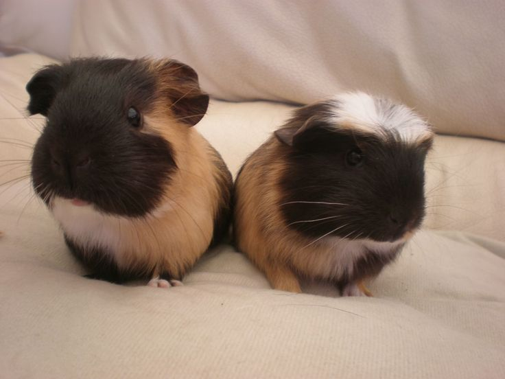 2 gorgeous baby boy guinea pigs for sale | Dartford, Kent | Pets4Homes