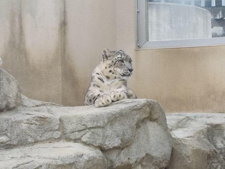 王子動物園のヒョウだよ
