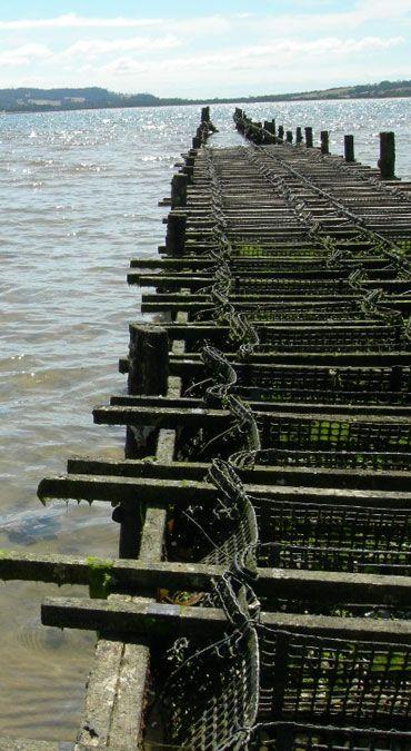 Growing Tasmanian Oysters