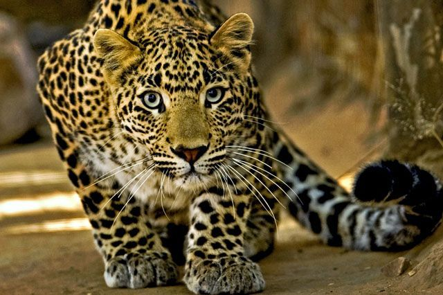 Indian Leopard | Preserve Black Leopard Habitat in Thailand – The Petition Please ...