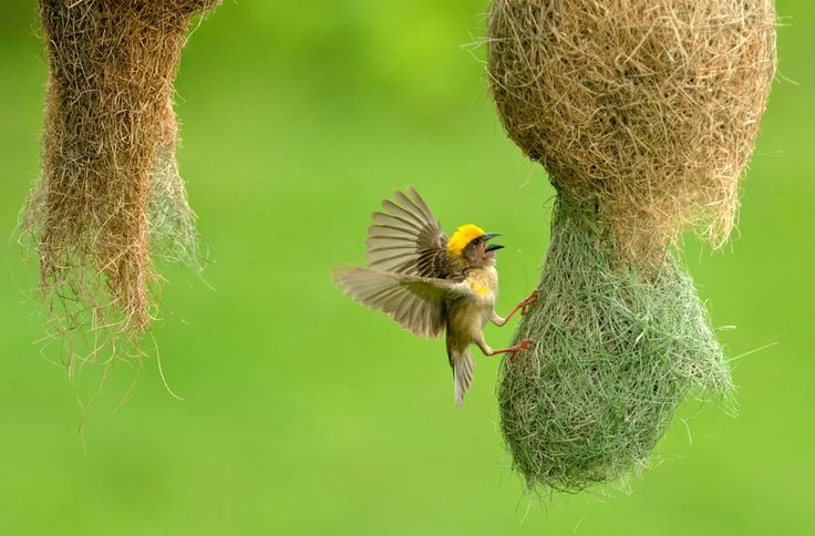 A weaver bird makes its nest in Kathmandu on July 22, 2011. (Credit: Prakash Mathema/AFP/Getty Images)