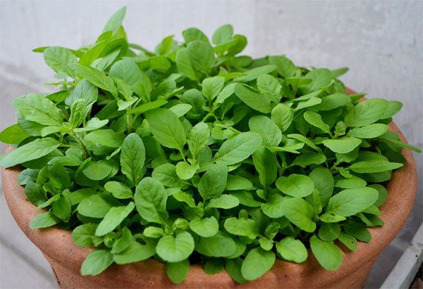 Como cultivar o manjericão - Do plantio a poda