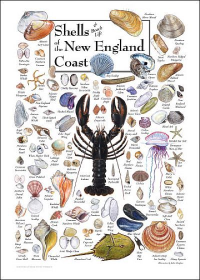New England Coast Shells. https://www.fostersclambake.com for the most authentic lobster and clambakes in Southern Maine!
